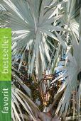 Bismarckia nobilis 'Silver' – Bismarck-Palme