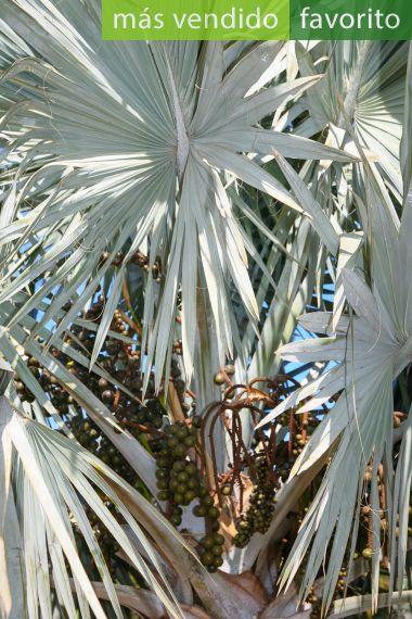 Bismarckia nobilis 'Silver' – Palmera de Bismarck 'Plateada'
