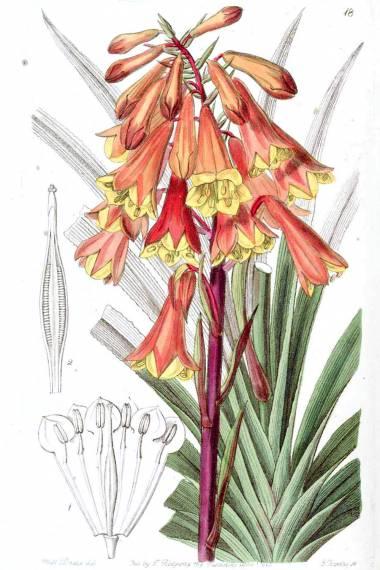 Blandfordia punicea