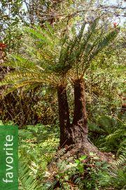 Blechnum buchtienii – Buchtien's Cycad Leaf Tree Fern