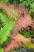 Blechnum cordatum – Palm Leaf Fern