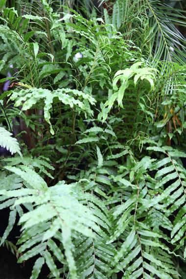 Blechnum minus – Soft Water Fern