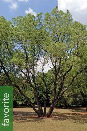 Bolusanthus speciosus – Rhodesian Wisteria Tree