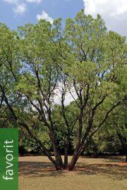 Bolusanthus speciosus – Afrikanischer Blauregen