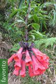 Bomarea multiflora – Alpacoral