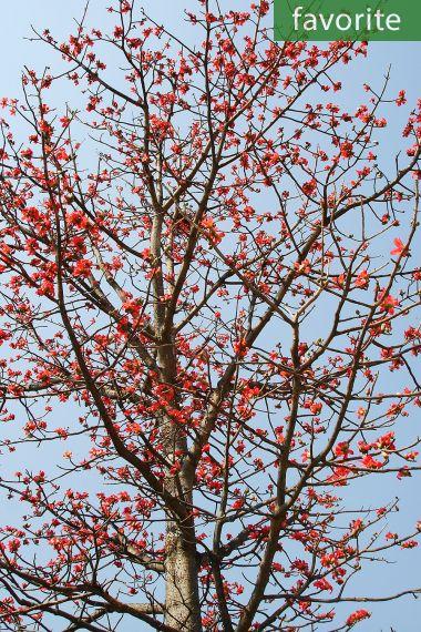 Bombax ceiba – Red Cotton Tree