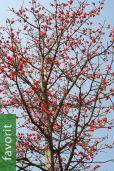 Bombax ceiba – Roter Kapokbaum