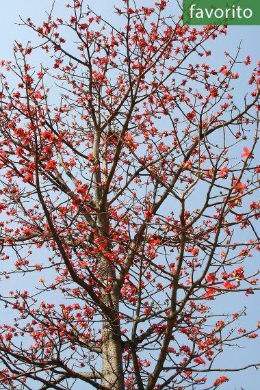 Bombax ceiba – Algodonero rojo