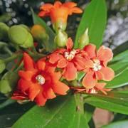 Bonellia macrocarpa subsp. panamensis