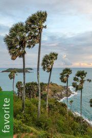 Borassus flabellifer – Palmyra Palm