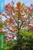 Brachychiton acerifolius – Illawarra Flame Tree