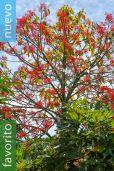 Brachychiton acerifolius – árbol de fuego illawarra