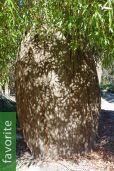 Brachychiton rupestris – Queensland Bottle Tree