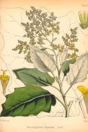 Brachyglottis repanda 'Rangiora' – Rangiora