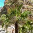 Brahea dulcis – Palmilla, Capulín, palma de sombrero
