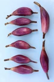 Bromelia karatas – Plumier's Bromelia