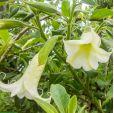 Brugmansia arborea – White Angel's Trumpet