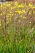 Bulbine frutescens 'Yellow' – Cola de Gato, Flor de Serpiente