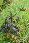 Burmeistera glabrata
