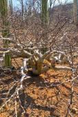 Bursera fagaroides – Duftender Elefantenbaum
