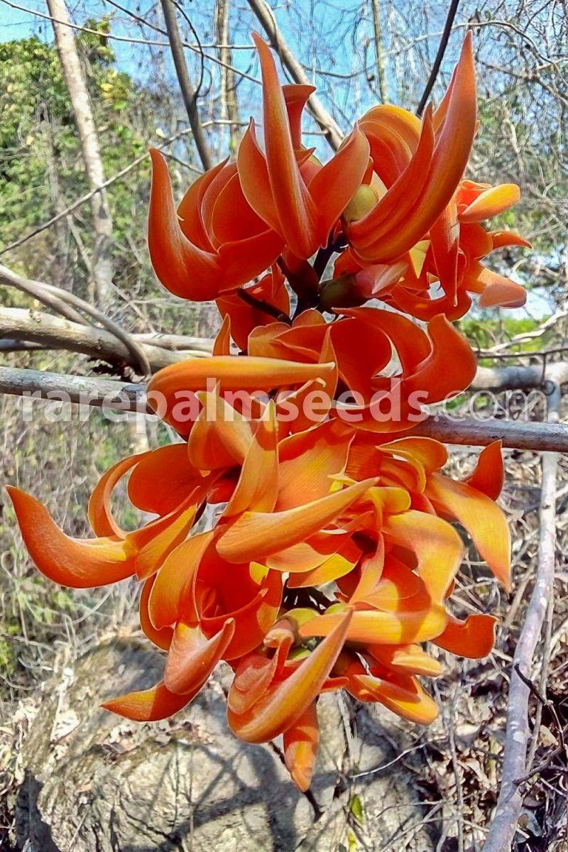 Butea Monosperma-Superbe flamme de l/'arbre forestier 5 fresh seeds