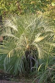 Butia capitata – Northern Jelly Palm