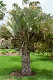 Butia catarinensis – Küsten-Geleepalme
