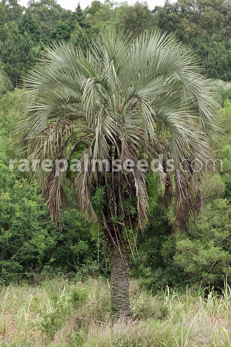 10x Palm seeds Jelly Palm Butia ODORATA