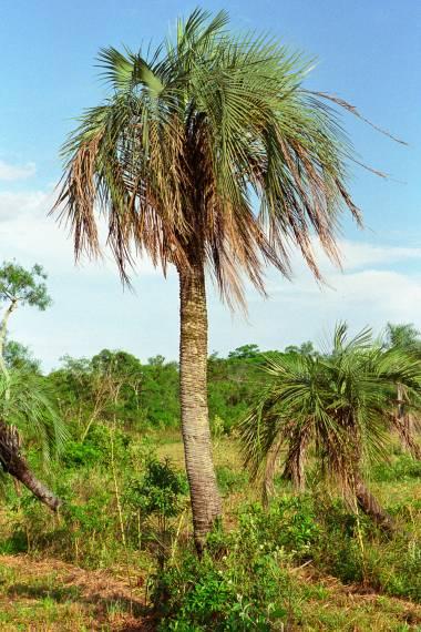 Butia paraguayensis – Zwerg-Yataypalme