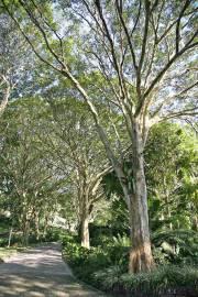 Caesalpinia ferrea – Leopard Tree, Brazilian Ironwood