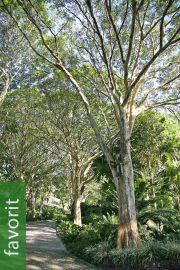 Caesalpinia ferrea – Leopardenbaum