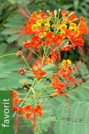 Caesalpinia pulcherrima – Pfauenstrauch