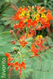 Caesalpinia pulcherrima – Pequeño flamboyant, Tabachin
