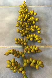 Calamus palustris