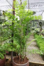 Calamus siamensis – Ratán tailandés