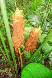Calathea inocephala