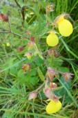 Calceolaria tripartita