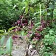 Callicarpa acuminata – Mexican Beautyberry