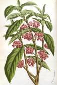 Callicarpa dichotoma – Purple Beautyberry