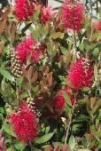 Callistemon citrinus – Crimson Bottlebrush