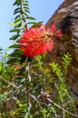 Callistemon subulatus – Dwarf Bottlebrush