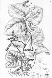 Calopogonium caeruleum