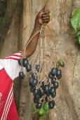 Canarium indicum 'Malekula King' – Nangai Nut, Galip Nut, Canarium Nut