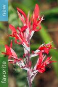 Canna indica – Canna Lily