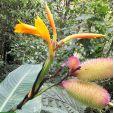 Canna jaegeriana – Orange Canna Lily