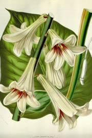 Cardiocrinum giganteum – Lirio gigante del Himalaya