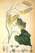 Cardiopteris quinqueloba