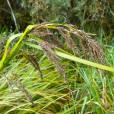 Carex jamesonii var. gracilis