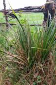 Carex lemanniana