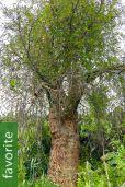 Carica lanceolata – Bolivian Papaya Tree